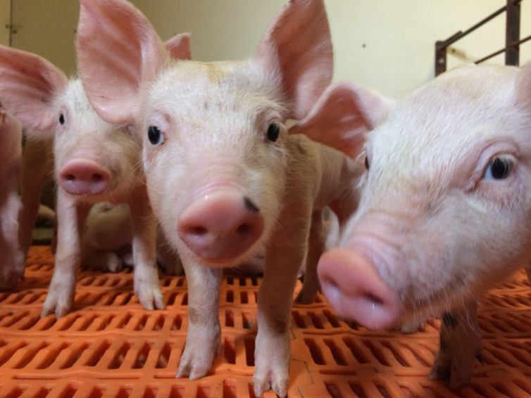 Pigs are taking over social media, with one SIU student named to the #RealPigFarming Student Social Forces team
