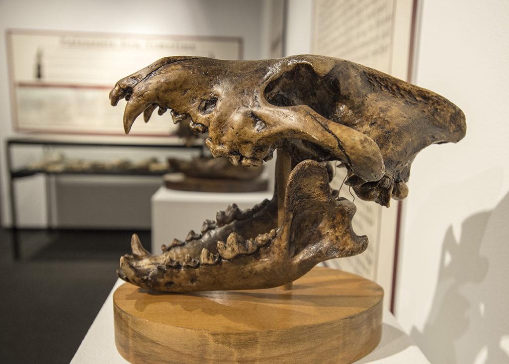 SIU Museum dire wolf skull cast