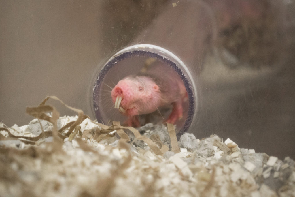Naked mole-rat in a lab at SIU Carbondale.